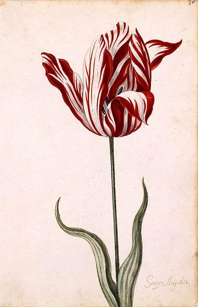 Semper_Augustus_Tulip